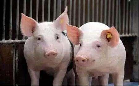 产能小幅下降 山东发布生猪产业监测预警报告科学指导生产