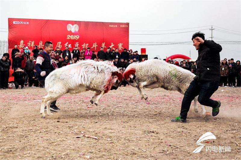 23秒丨Duang!水泊梁山农家寨斗羊大赛闹新春