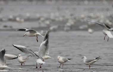组图丨上万只红嘴鸥在青岛胶州湾河口觅食 场面壮观