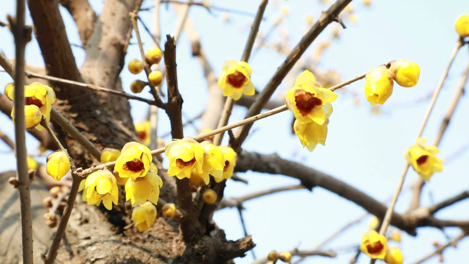 孔府忠恕堂一棵六百岁腊梅迎春绽放 花香扑鼻引游客前来观赏