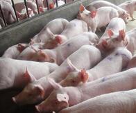 山东首例非洲猪瘟疫情得到有效处置