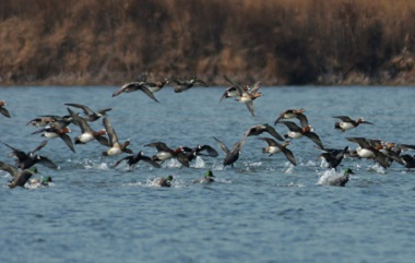 组图丨青岛:冰消雪融 水鸟在水中滑跃起舞