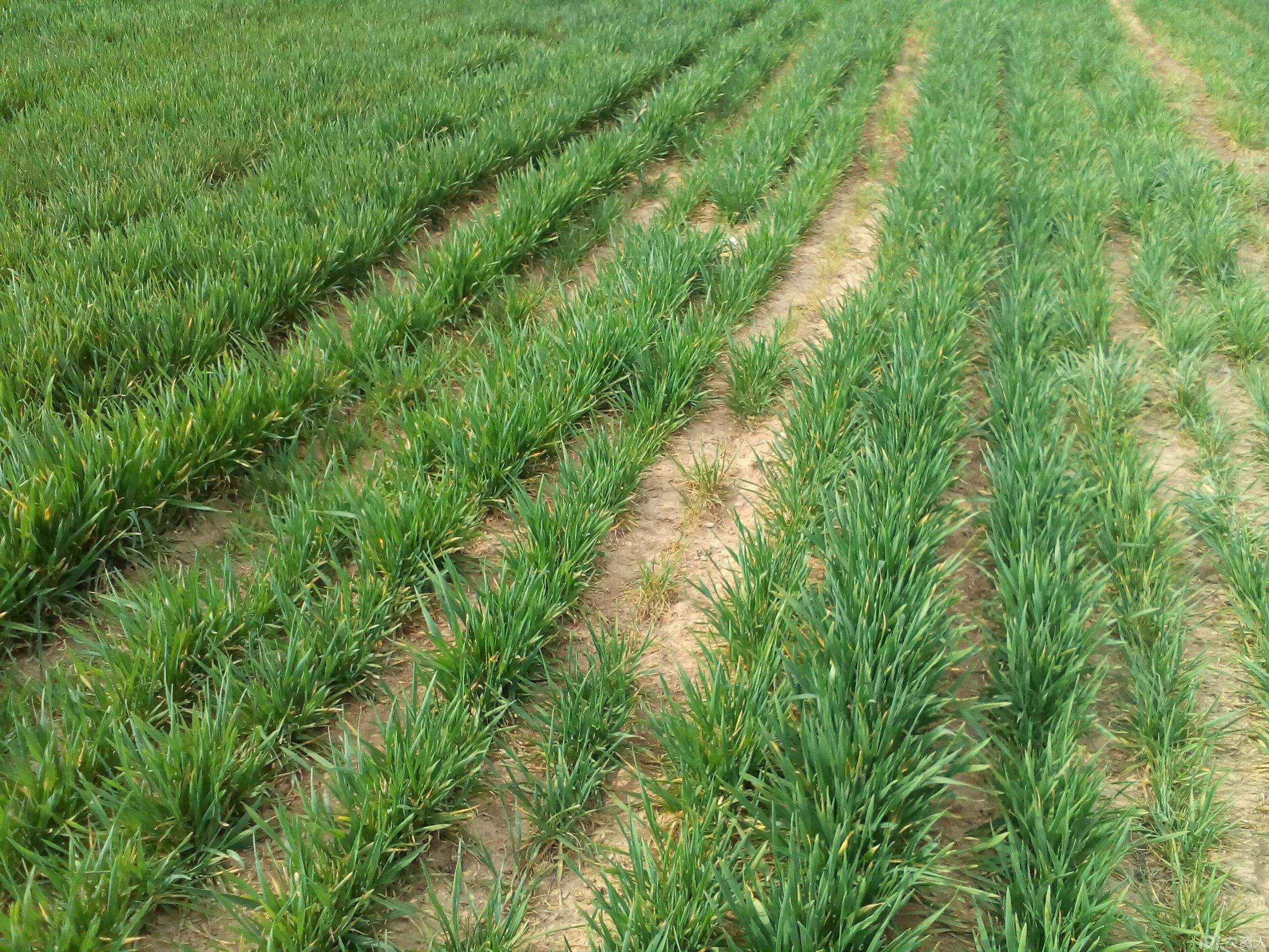 山东:小麦处于越冬—返青期 墒情适宜