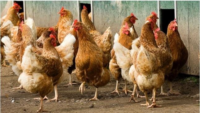 """山东:""""家禽新发疫病的快速诊断与防控技术研究""""通过专家验收"""