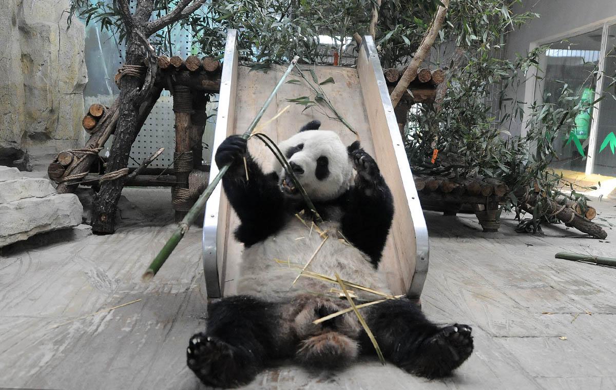 """又萌又帅!新来大熊猫""""华奥""""亮相了"""