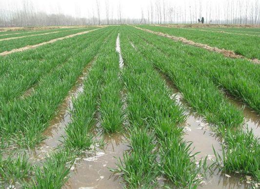山东:小麦适时浇好返青水 预防早春冻害