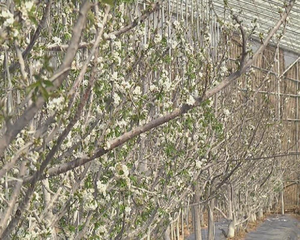 樱桃花1.jpg