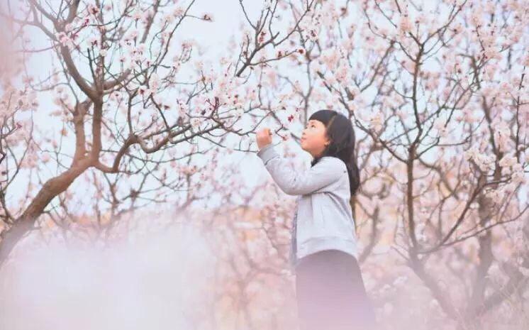 相约魅力张夏 济南市第十八届杏花节将于3月17日开幕