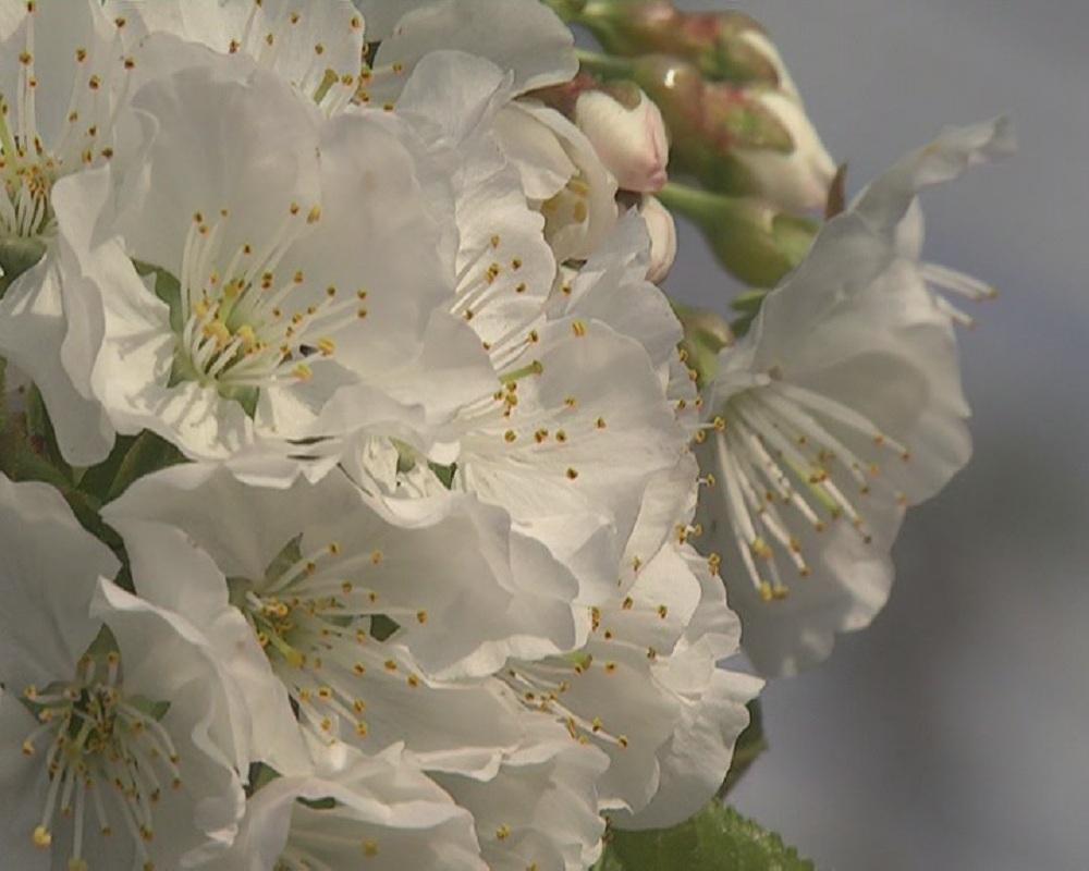 樱桃花2.jpg