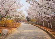 邹平市2019第六届樱花节将于3月16日开幕