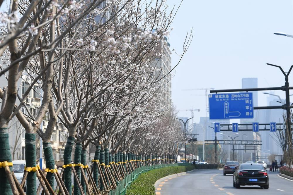 """济南城区内最长""""樱花大道""""首迎盛开 4.2公里上演烂漫春景"""