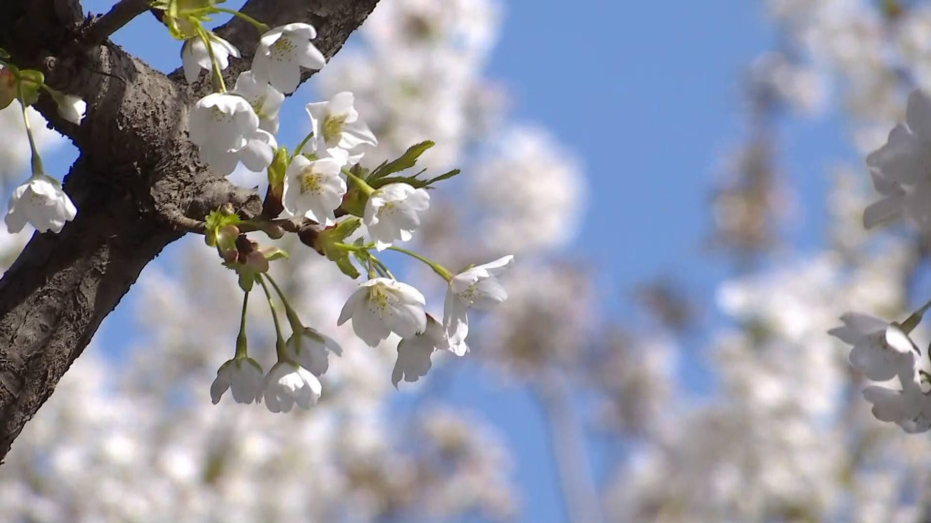 62秒|正是赏樱好时节!五龙潭樱花节邀你看樱花