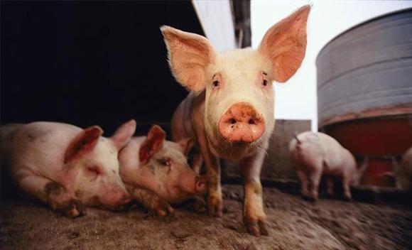 山东:加强生猪屠宰环节监测 稳定生猪生产保障市场供给