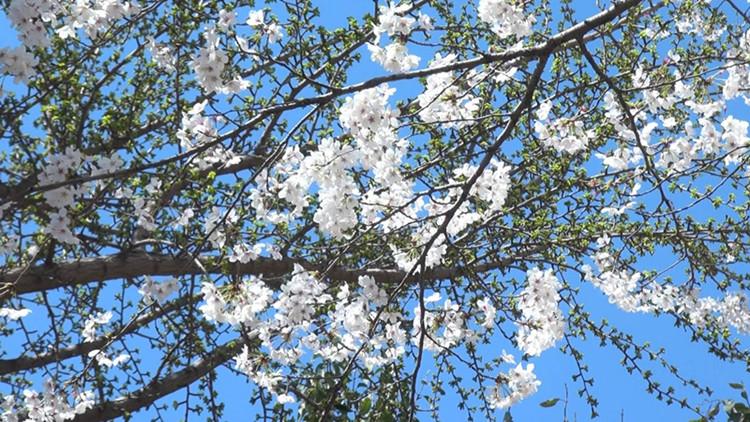 现场视频实拍! 济南高校校园迎来春天开花季 美翻了
