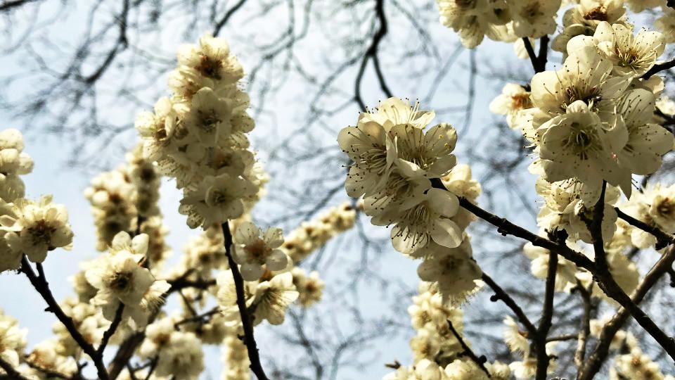 47秒丨青岛中山公园玉兰梅花枝头争艳 樱花预计4月10日绽放