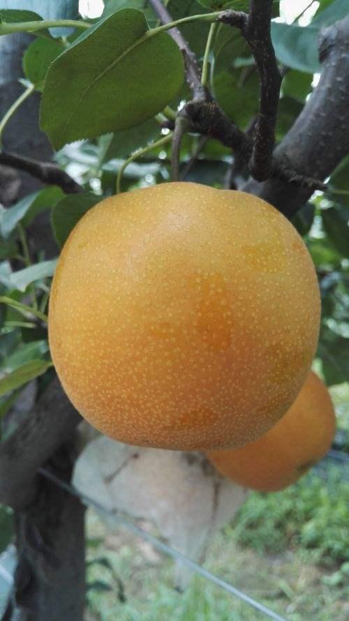 青岛:5个梨新品种育成 将被授予植物新品种权