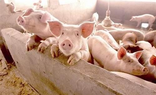 山东提高育肥猪能繁母猪保险额度 非洲猪瘟纳入保险赔偿责任