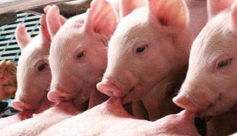 山东:累计抽检样品7.9万份 积极防控非洲猪瘟