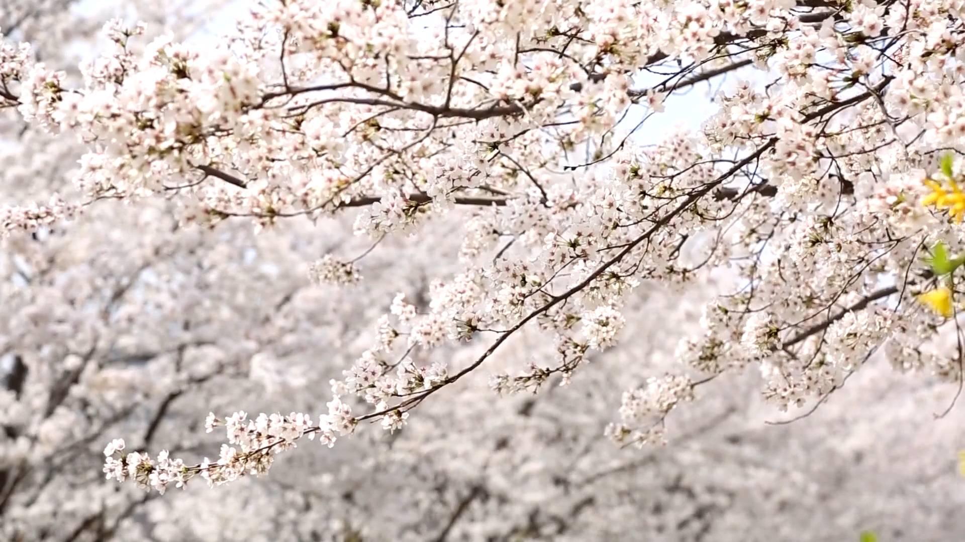 滨州邹平十里樱花醉游人,满树烂漫 如云似霞