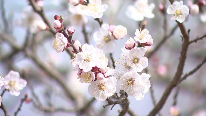 28秒|人花共舞戏春风!郓城二百亩桃花开 游客踏春来