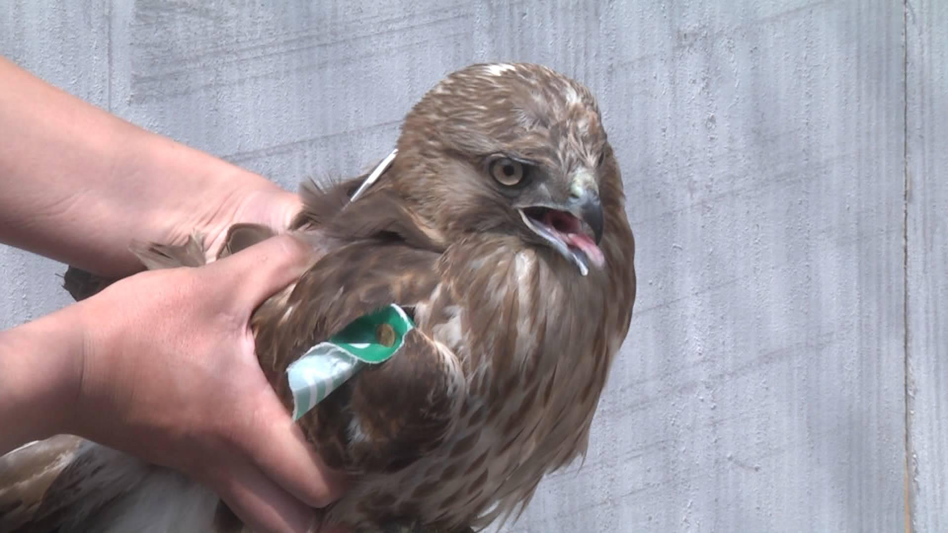 放飞!13只受伤猛禽野放 多数属国家二类保护动物