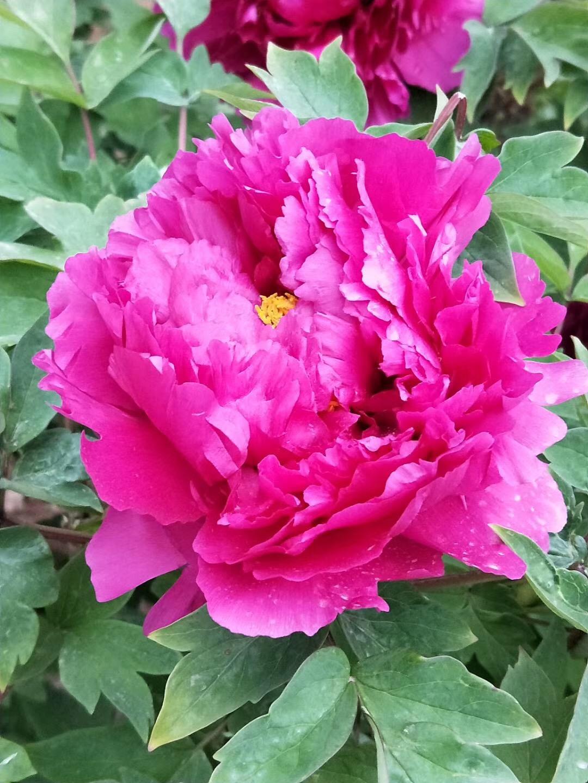 雨后赏花享春色 济南泉城公园牡丹花开
