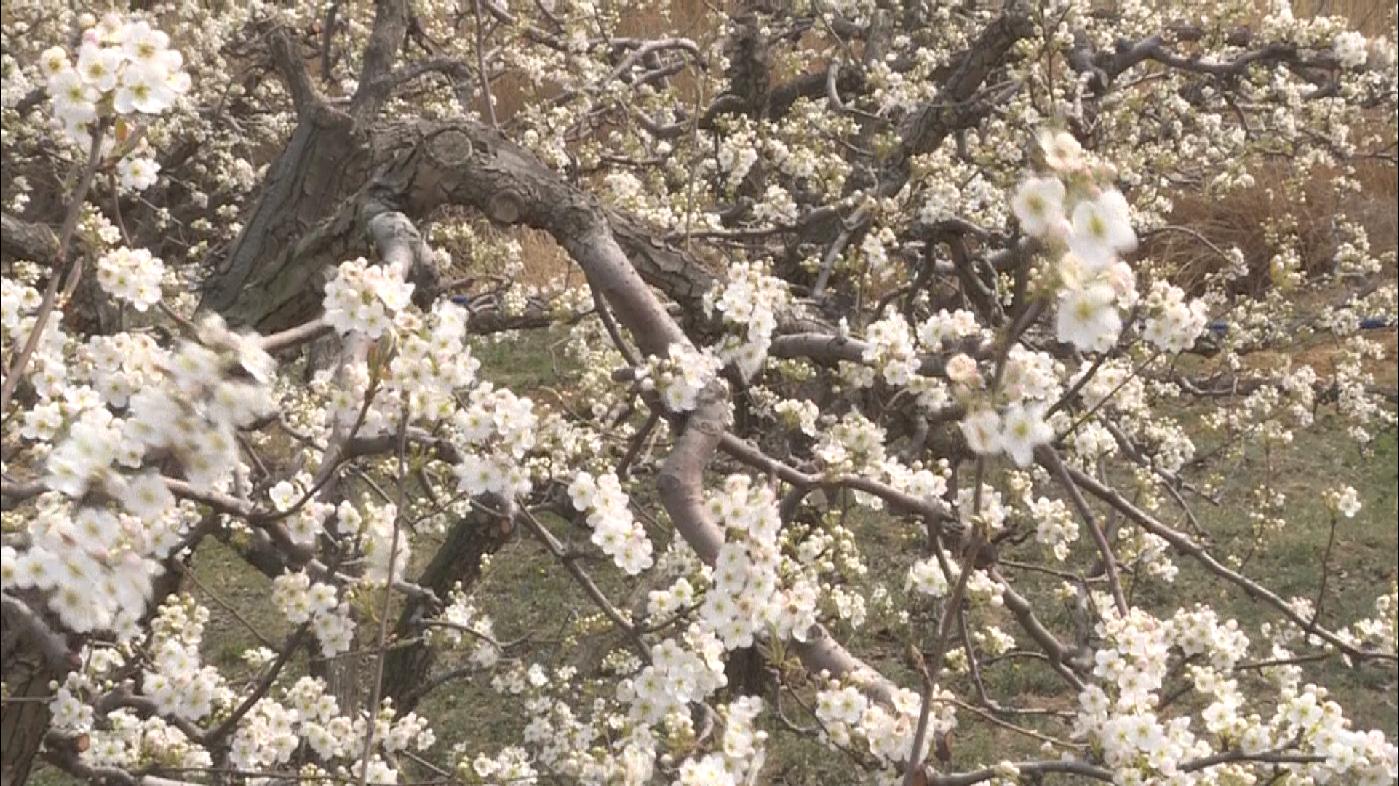33秒丨烟台龙口梨园花开迎来盛开期 粉妆玉砌沁人心脾