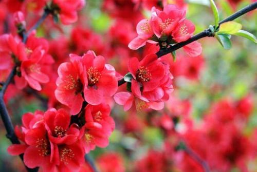 36秒|春光无限好,滨州博兴3000亩海棠花开醉游人