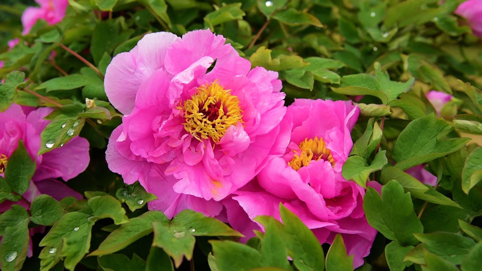 45秒|济南泉城公园身披彩色春装 牡丹花开争艳速来打卡
