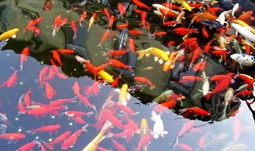 """养鱼不换水、种菜不用肥 """"鱼菜共生""""这项前沿科技将亮相寿光菜博会"""