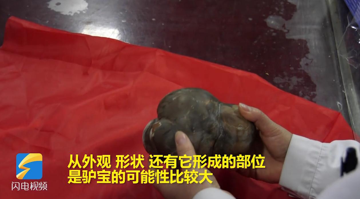 40秒丨潍坊一村民杀驴肠内惊现神秘大石头 疑为驴宝