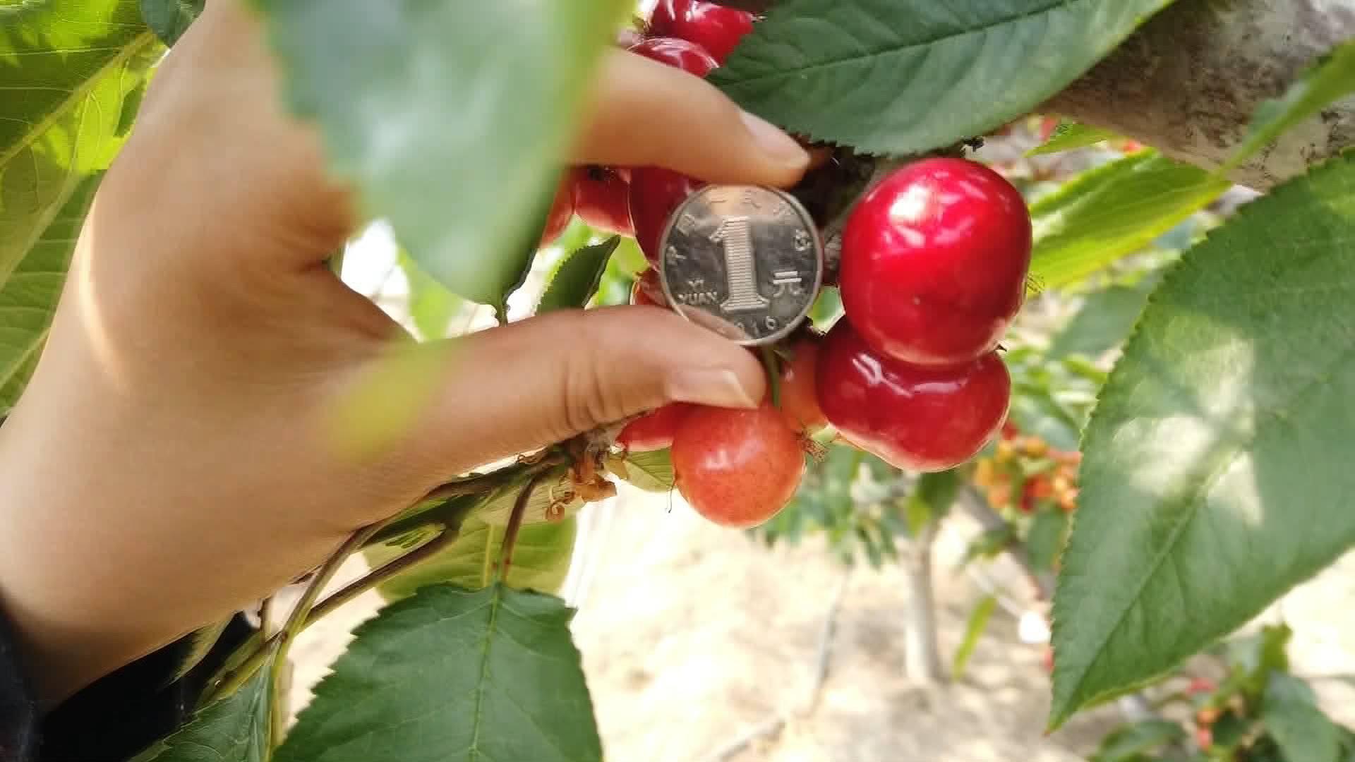 39秒丨烟台大棚樱桃即将上市:个头如一元硬币 预计80元一斤