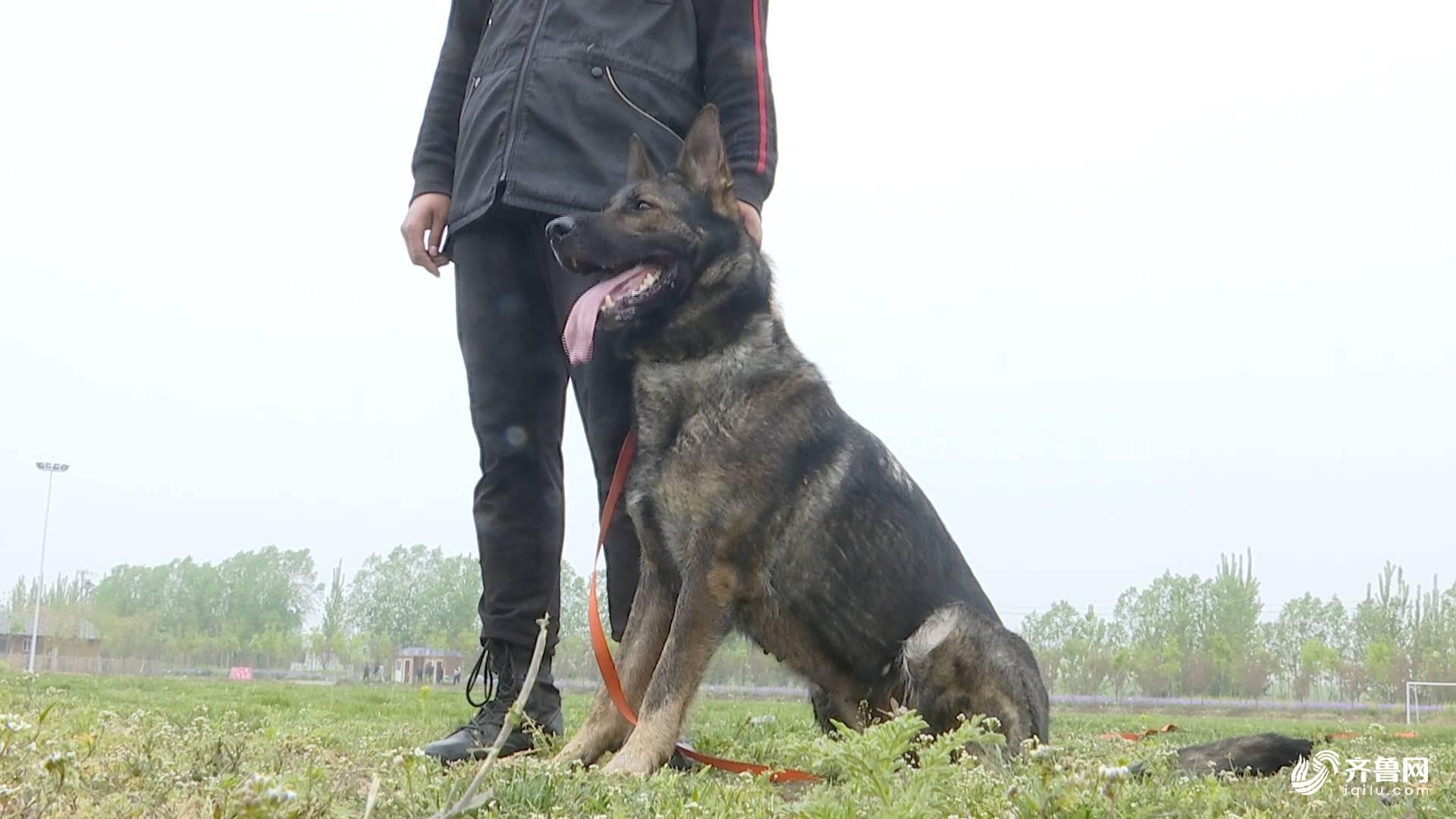 护卫犬排行榜_太阳报:保护人身安全,英超球星流行买护卫犬