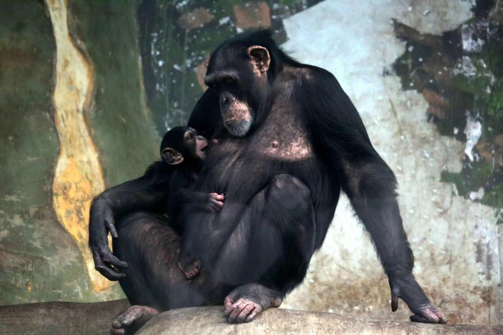 64秒|喜添丁!济南动物园黑猩猩宝宝今天与游客见面