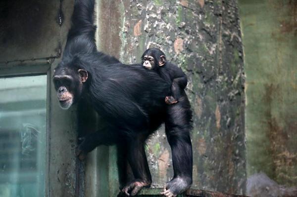 首只在济南繁育成功的黑猩猩今天正式与游客见面