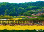 组图:赏花正当时 临朐辛寨镇千亩油菜花盛开