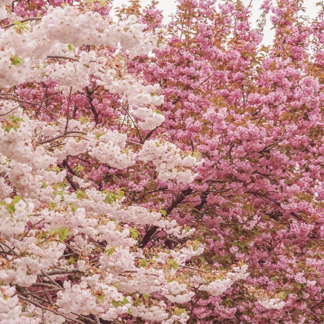 高清组图:最美不过海大樱花季 蓝天与双樱相映成趣