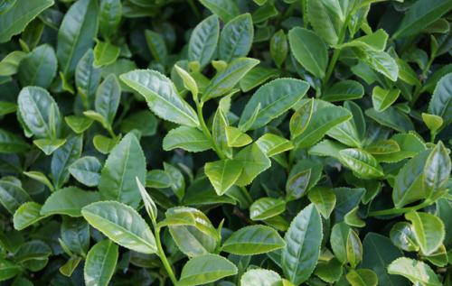 山东出台果菜茶产地环境监测实施方案 确保农产品质量安全