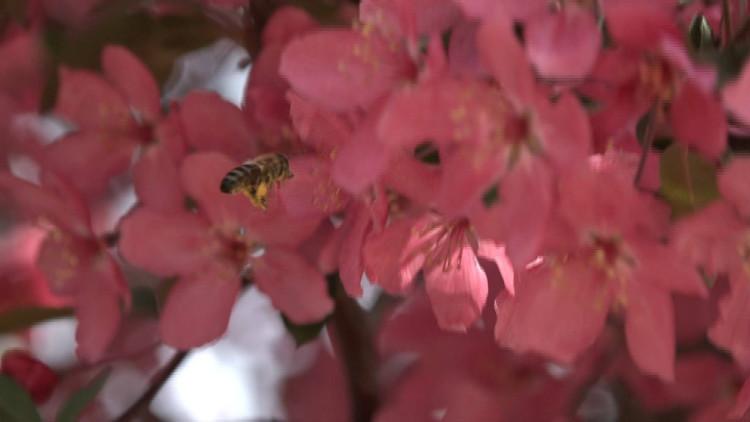 51秒丨灿若朝霞 红如烈火 一起去莱州海棠园共享美景