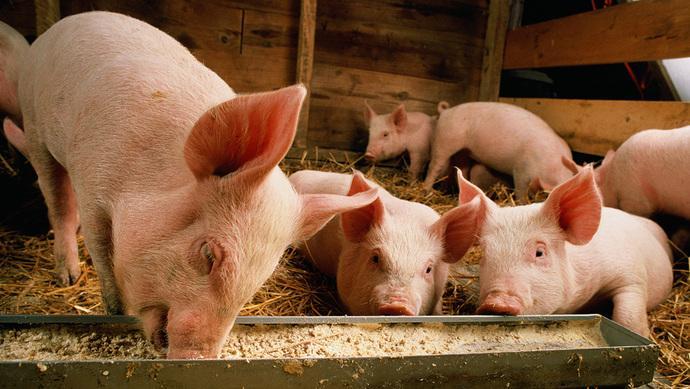 五一来临,山东猪价将进入趋势性上涨阶段