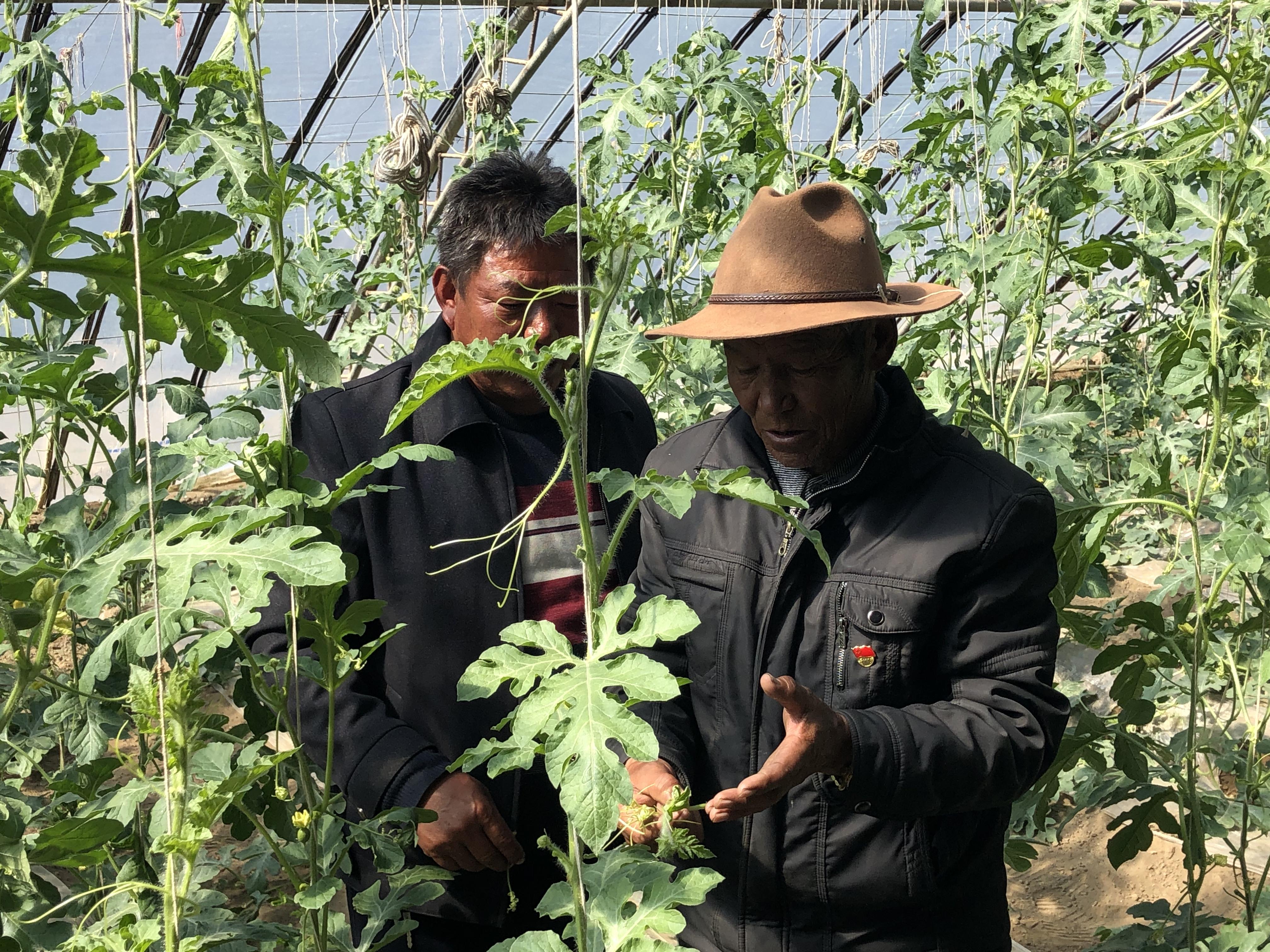 """【藏家人说援藏】②一个西瓜卖50块!合作社为""""万元村""""蔬菜大棚插上新的翅膀"""