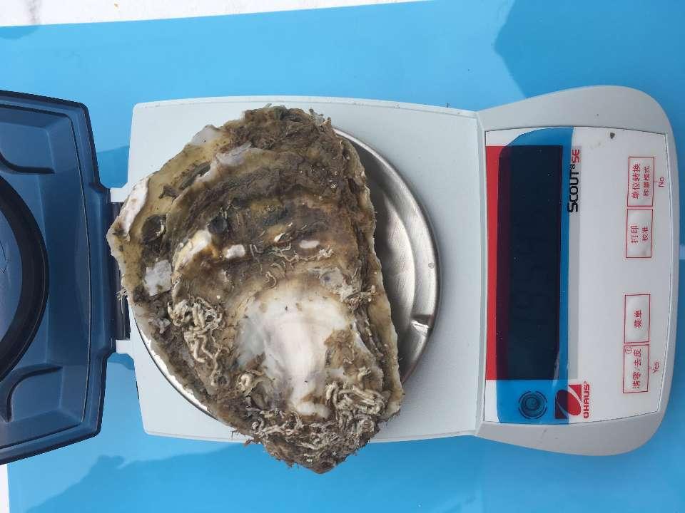 近江牡蛎在乳山长牡蛎主产区养殖成功