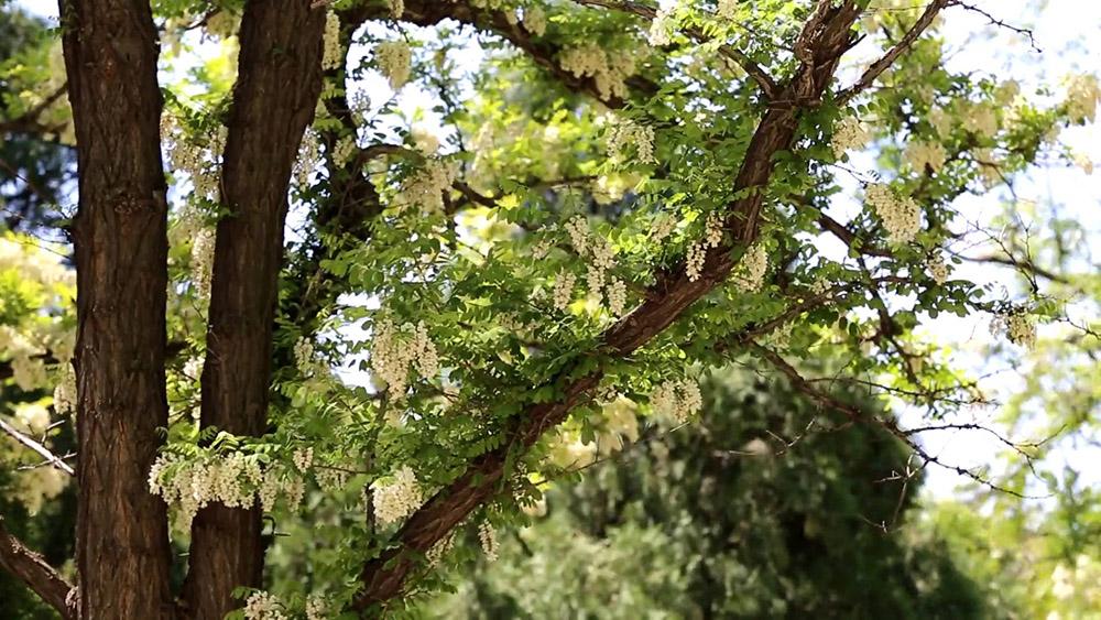 44秒|莱州大基山槐花绽放 暗香浮动漫山溢馨