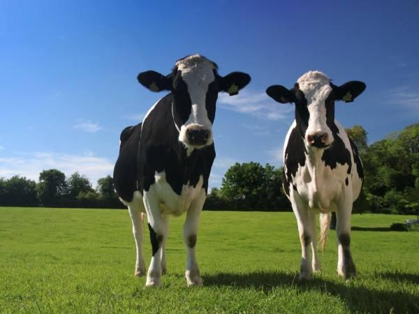 山东:万头以上奶牛场19处 具备良种繁育基础条件