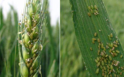 山东小麦处于杨花灌浆期 需防治麦蚜