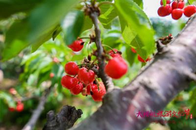 济南南部山区第十二届大樱桃旅游文化节拉开帷幕