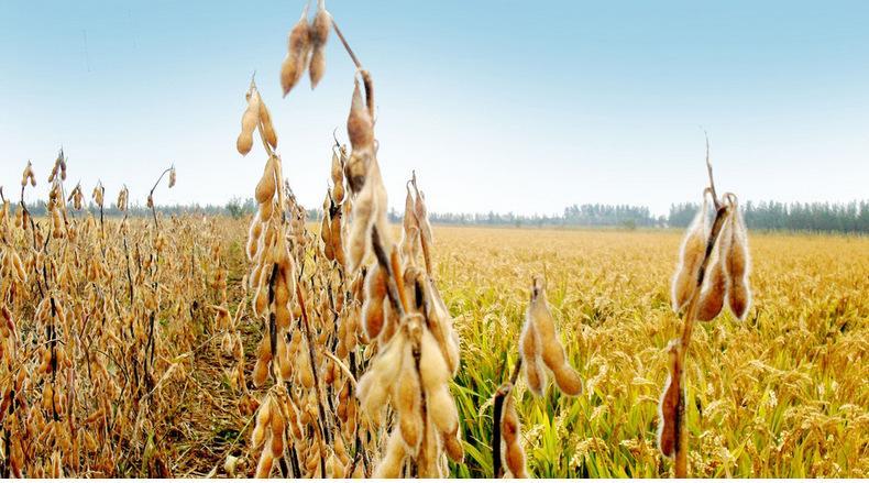 山东发布2019年夏大豆生产技术意见 着力推广绿色防控病虫害技术
