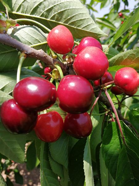 青岛本地樱桃陆续成熟,产量比去年翻了一倍,想吃的抓紧