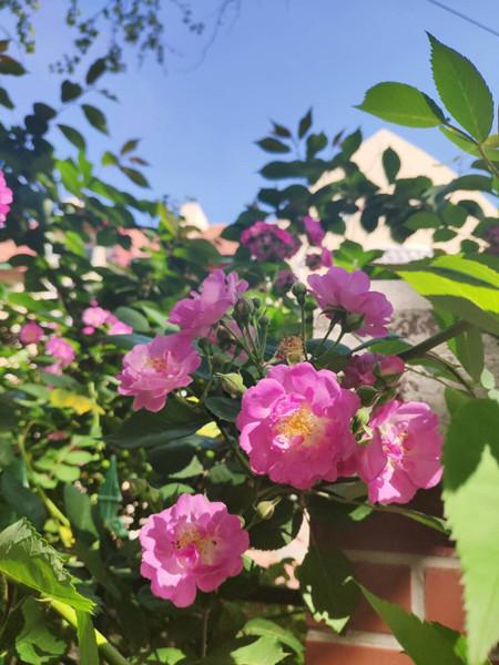 组图丨蔷薇花开香动五月 快来青岛邂逅这片蔷薇花海