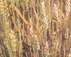 高温来袭!山东小麦应小心干热风